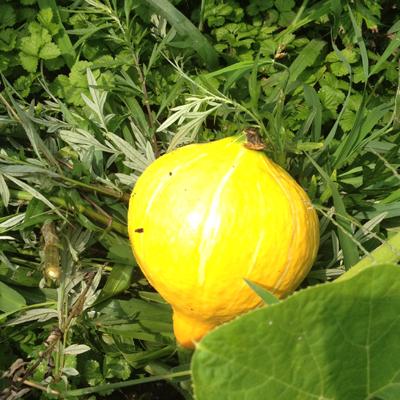 赤皮かぼちゃ。これから色づいてオレンジになってゆきます。