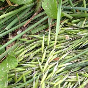 サラダごぼう。追肥後、エンバク刈り倒し。オーキシン