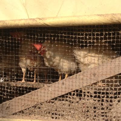 養鶏鶏舎。ケージ飼ってこんな風景