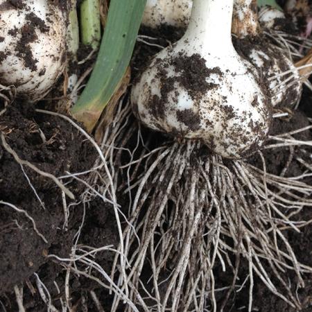にんにくの根っこは20cmくらい。