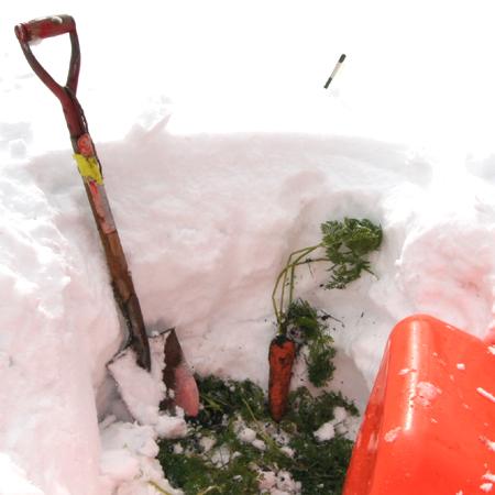 雪下ニンジン