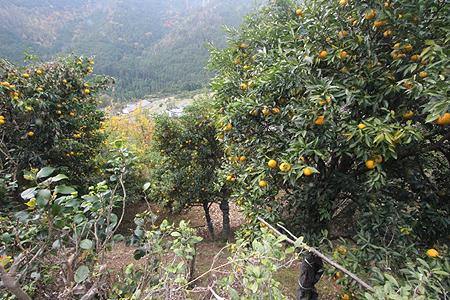 ゆずの果樹園