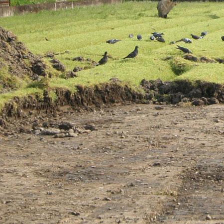 畑の作土層の下にある硬盤 かちかちだよ