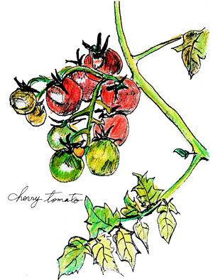 cherrytomato2014_color