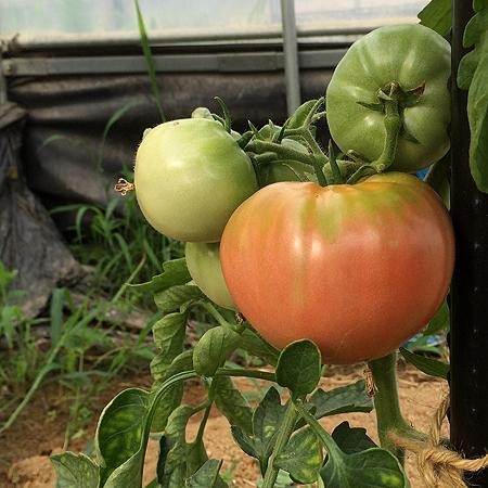 HG宇陀の昔トマト。 みるみる色づいてきてます。
