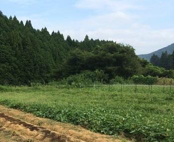 すくすく育つサツマイモ畑