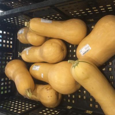 皆様、これがバターナッツです。