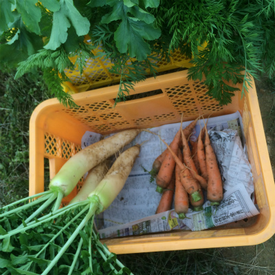 大根とにんじん! 冬野菜が続々