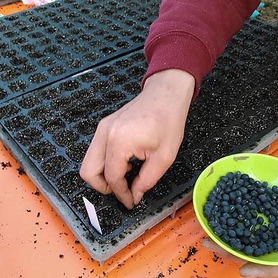 黒ダイズの種まき。7月上旬にはエダマメで出せます。